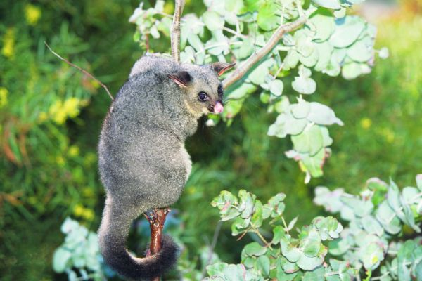 Common Brushtail Possum (Trichosurus Vulpecula) In Tree, Australia